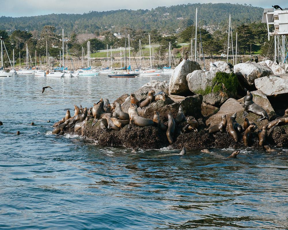 Seals in the harbor in monterey california