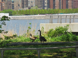 Sofia Colborn Geese Waterfront