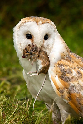 barn_owl_mouse_web-683x1024.jpg