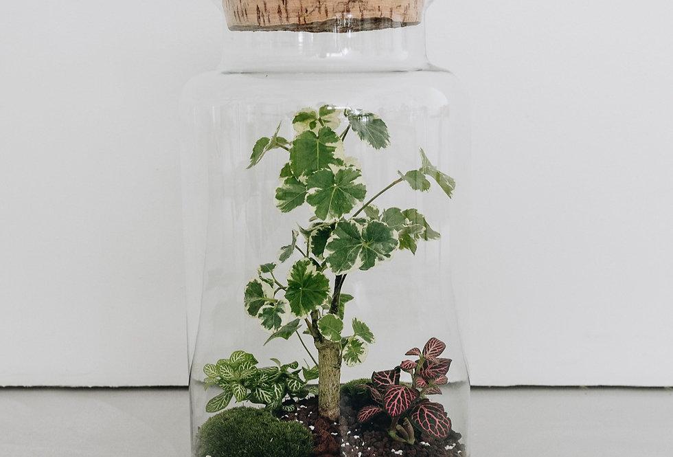 Terrarium Papeete à Lyon, Rhône Alpes, France. Contenant en verre, bouchon en liège, polyscias balfouriana, lierre, fittonia