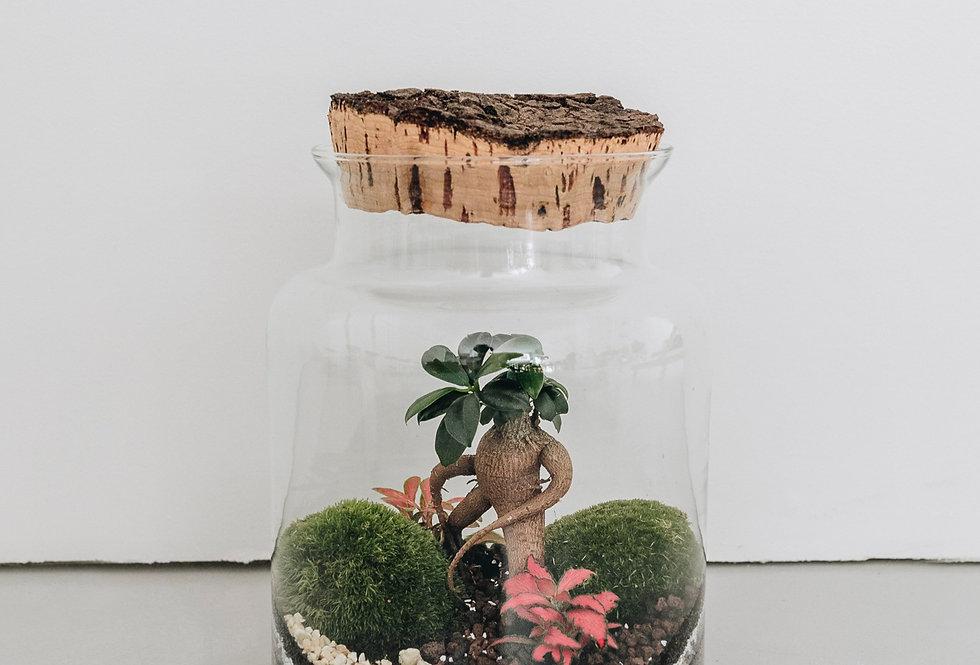 Terrarium Fujian à Lyon, Rhône Alpes, France, contenant en verre, bouchon en liège naturel, ficus microcarpa, fittonia