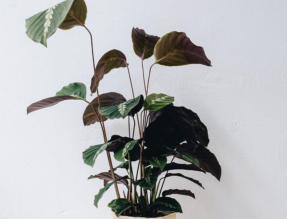 Calathea Maui Queen - M