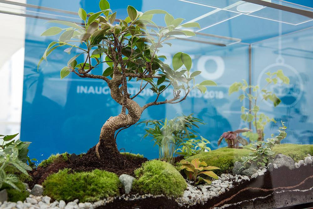 Terrarium Onno avec un bonsai ficus retusa pour l'inauguration TERREO à Villeurbanne avec Bouygues immobilier et Jean Paul Bret, Maire de Villeurbanne dans le cadre d'un évènement entreprise