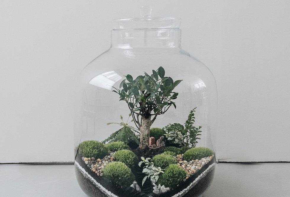 Terrarium Olifants à Lyon, Rhône Alpes, France. Contenant en verre, ficus retusa, asparagus, fittonia et mousse