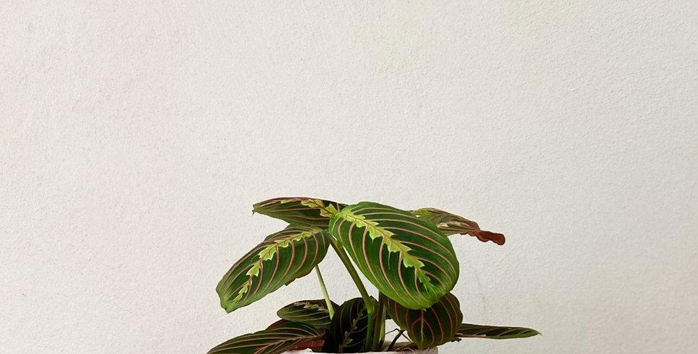 Plante tropicale Maranta Fascinator à Lyon Rhône Alpes France