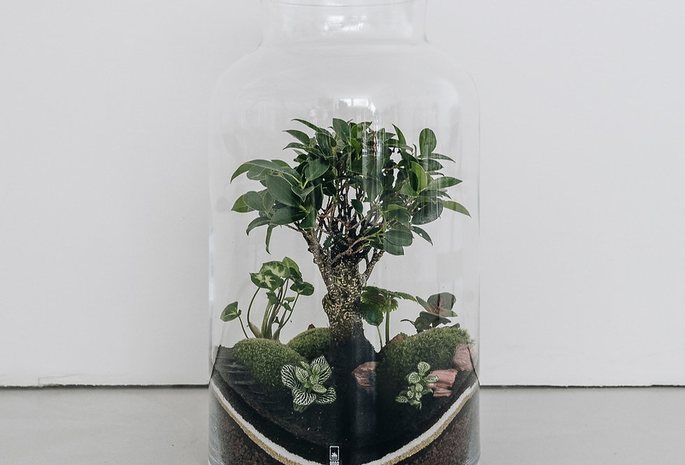Terrarium Bali à Lyon, Rhône Alpes, France. Contenant en verre, ficus retusa, syngonium, fittonia