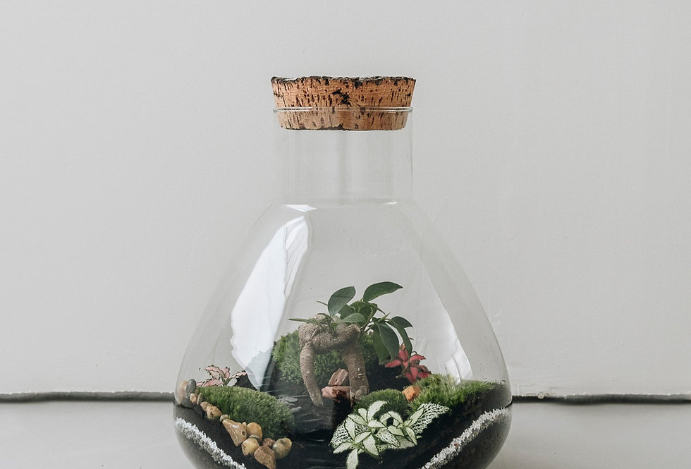 Terrarium Fujian à Lyon, Rhône Alpes, France. Contenant en verre, bouchon en liège, ficus microcarpa, fittonia, mousse