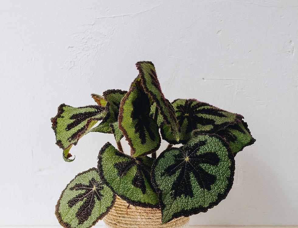 Begonia Masoniana Rock