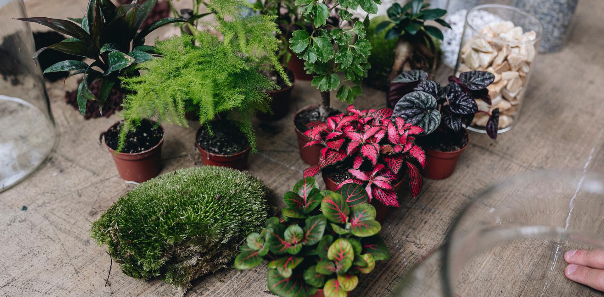 Fittonias, asparagus, pilea, peperomia, décoration et substrats lors d'un atelier terrarium à Lyon, Rhône Alpes, France chez Onno jardins intérieurs