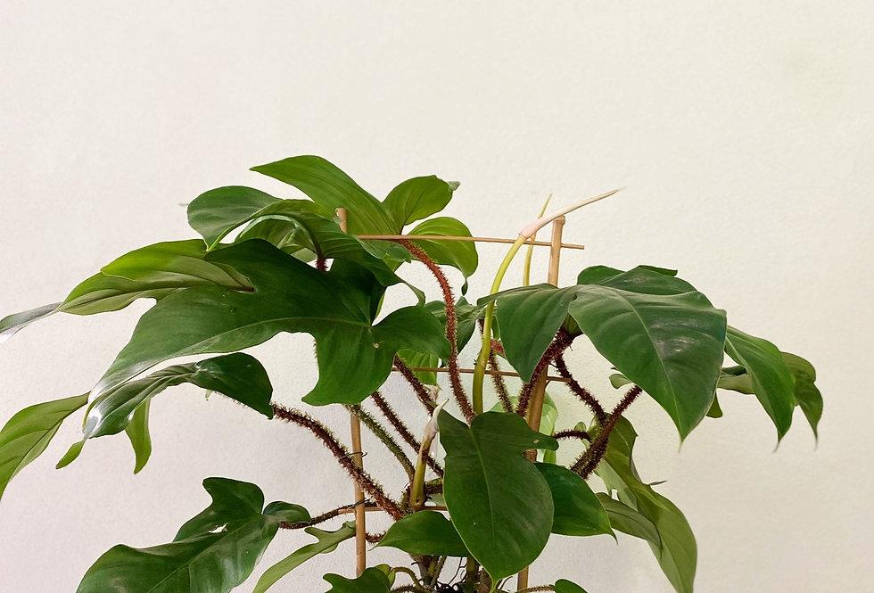 Philodendron Squamiferum, plante tropicale à Lyon, Rhône Alpes, France