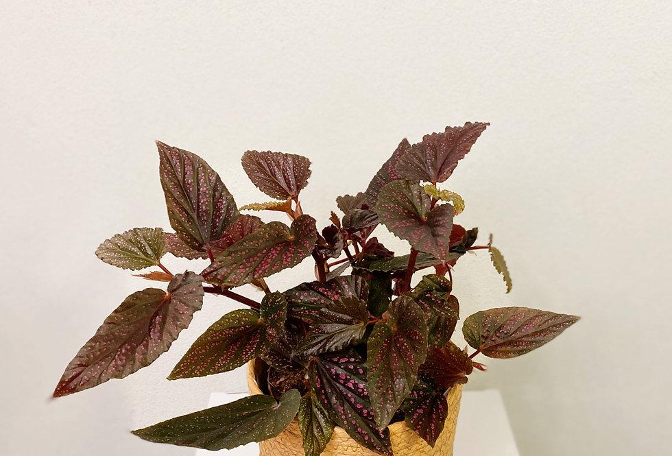 Begonia Benigo Pink