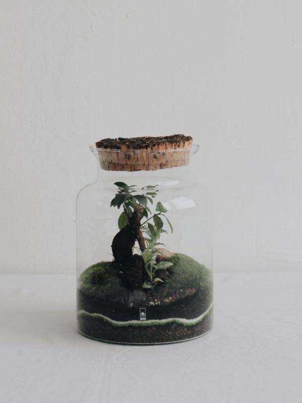terrarium onno lyon france avec un ficus microcarpa ginseng pour les ateliers diy