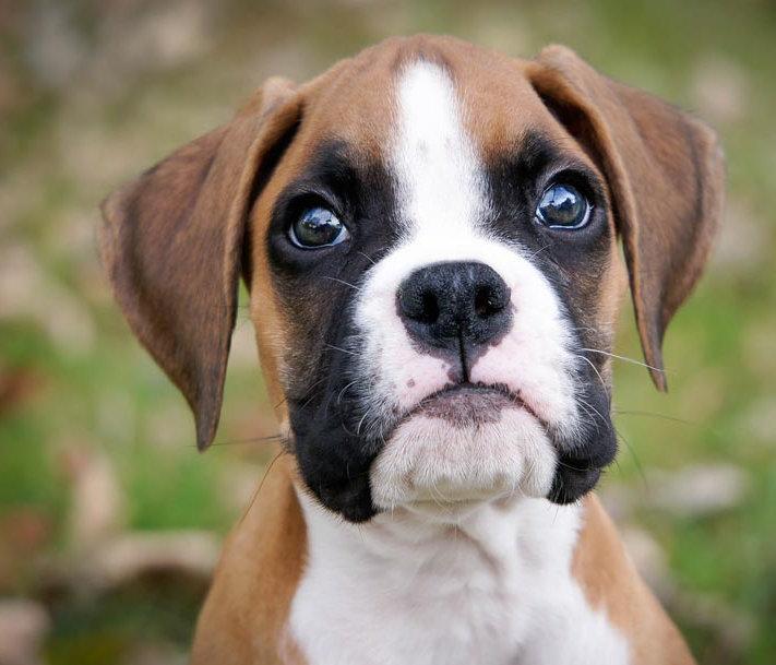 boxer-puppy.jpg
