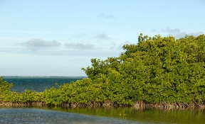 Mangroves in Bonaire