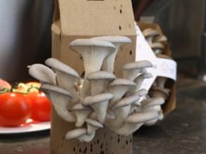 Un kit de délicieux pleurotes à cultiver LA BOÎTE À CHAMPIGNONS