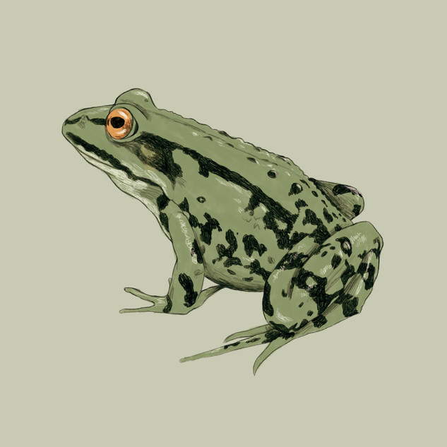 Frosch 2.jpg