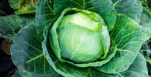All Seasons Cabbage