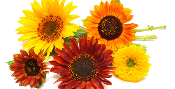 All Sorts Sunflower Mix