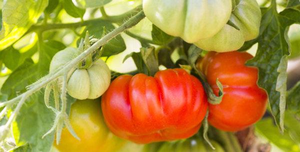 Beefmaster Hybrid Tomato