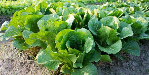 Buttercrunch Butterhead Lettuce