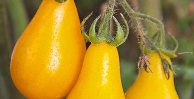 Yellow Pear Tomato