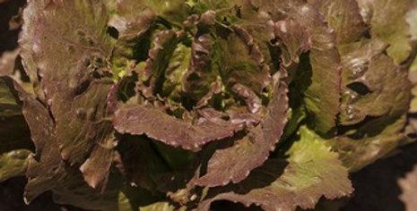 Freckles Romaine Lettuce