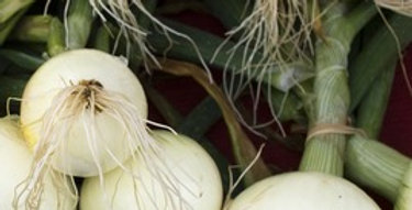 Texas Grano 502 Onion