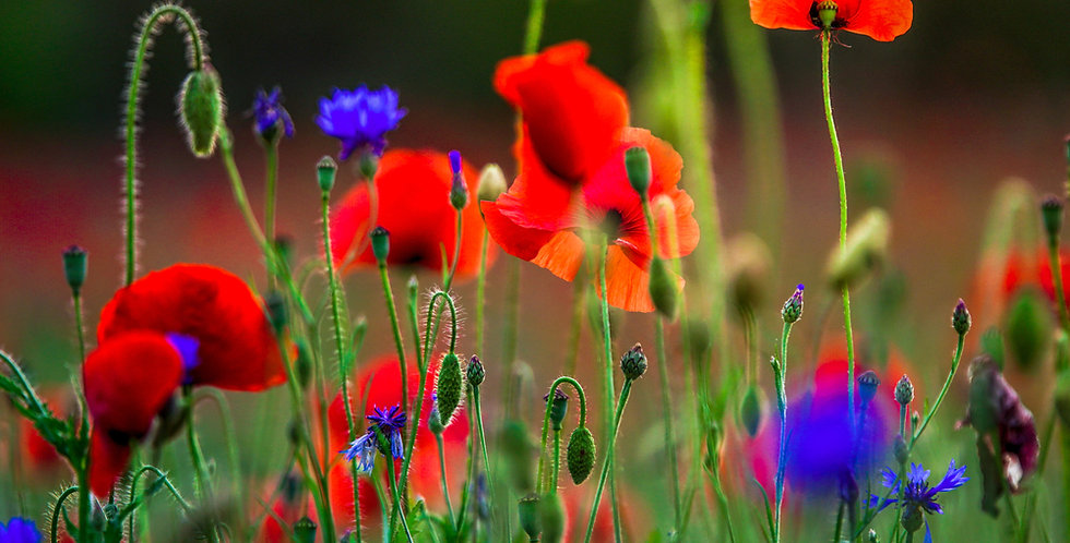 Southwestern Wildflower Mix