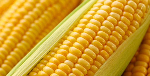 Golden Bantam Heirloom Corn