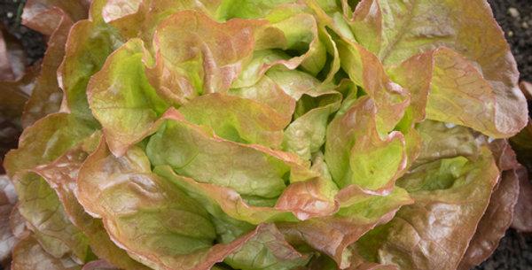 Marvel of the Four Seasons Butterhead Lettuce