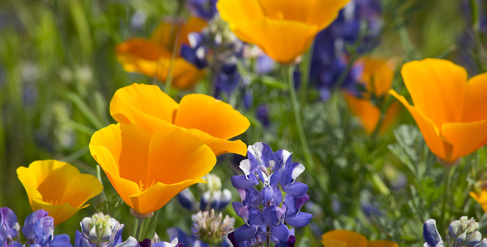 California Wildflower Mix