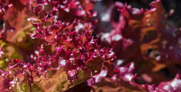 Red Salad Bowl Leaf Lettuce