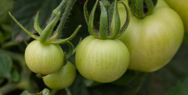 Money Maker Tomato