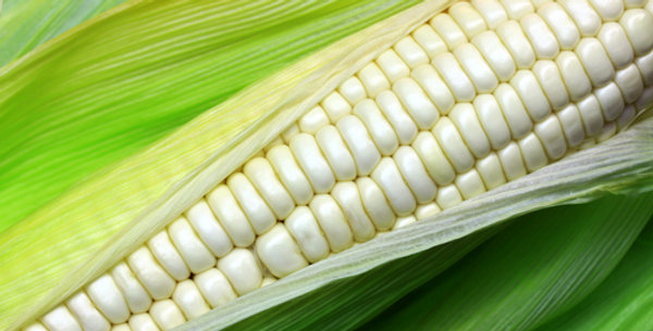 Truckers Favorite Heirloom Corn