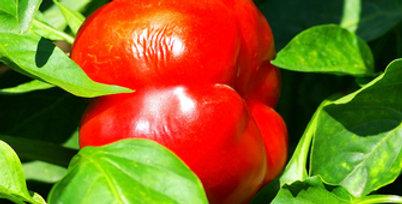 Pimento Pepper