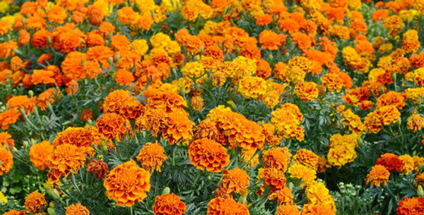 Crackerjack Marigold Mix
