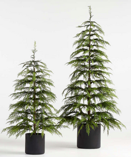 Potted Cypress Trees