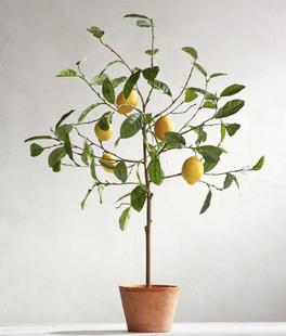 Faux Potted Lemon Trees