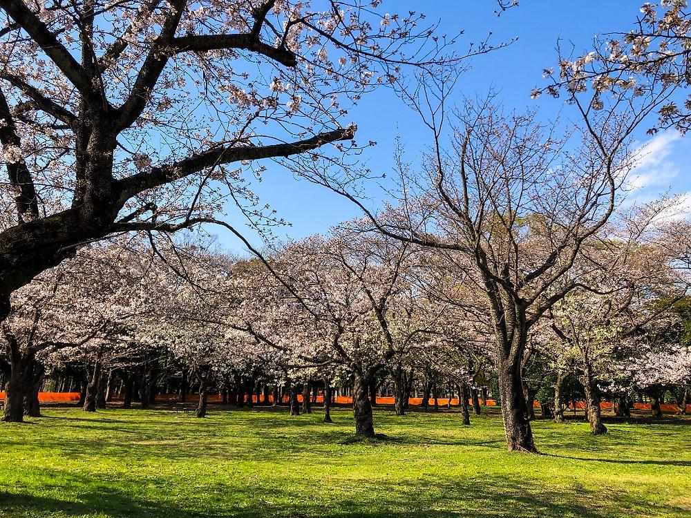 代々木公園 桜 原宿 メガネ オプティシァンロイド ロイド