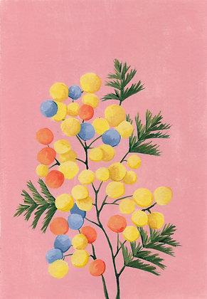 Mimosa de colores