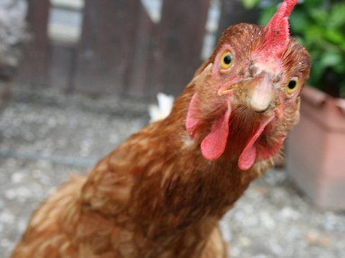 A chicken + food