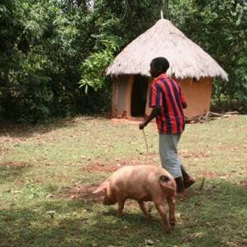 A pig and food