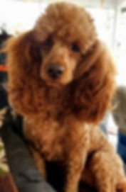 Red Miniature poodle stud