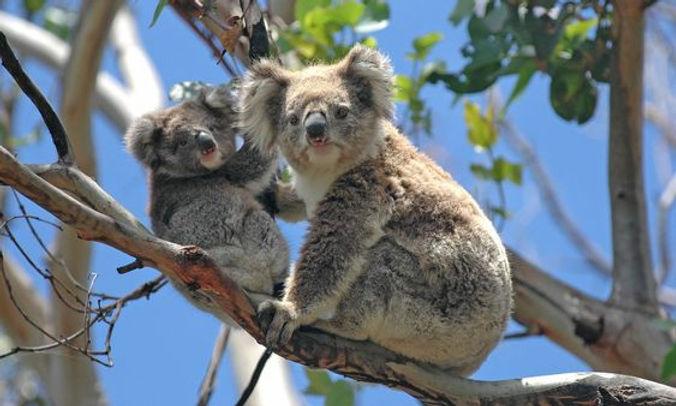 Koala Bear Wix pic 4507efd5e2f9616f461e6
