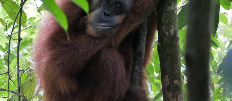 Monkey Business in Bukit Lawang