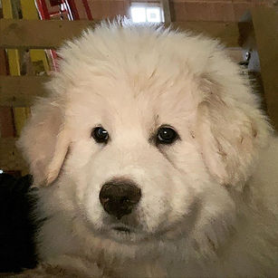 That face!!! #greatpyreneespuppy #livest