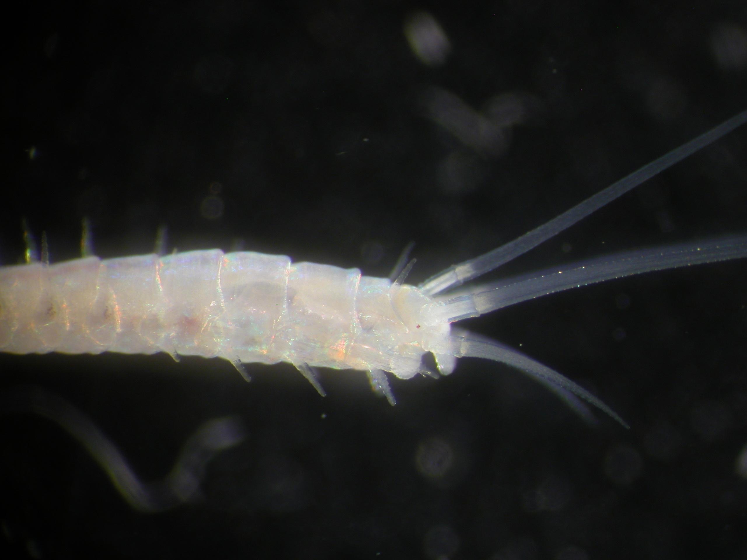 Mooreonuphis dangrigae