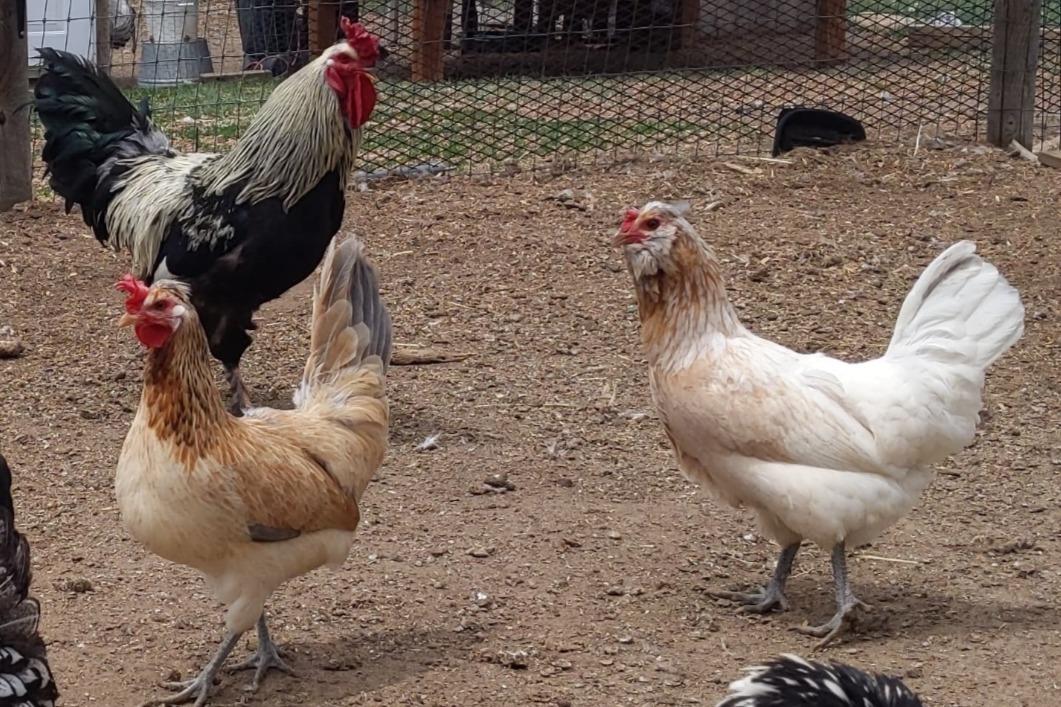 Khione hens