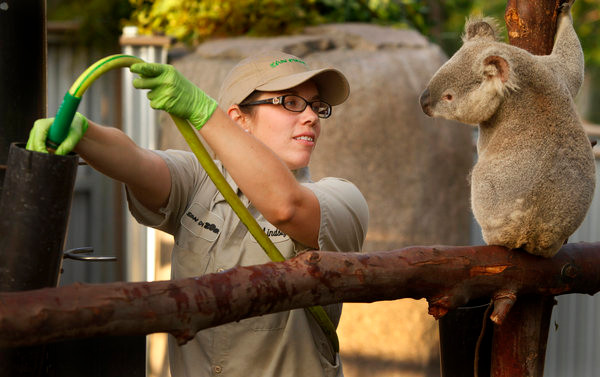 zoo keeper filling water container with hose, koala looks on