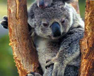 Council Dedicates 15 Reserves To Protect Koalas